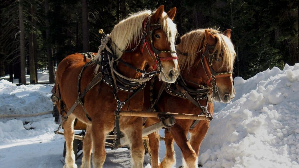 Picture of a pair of Belgian horses,