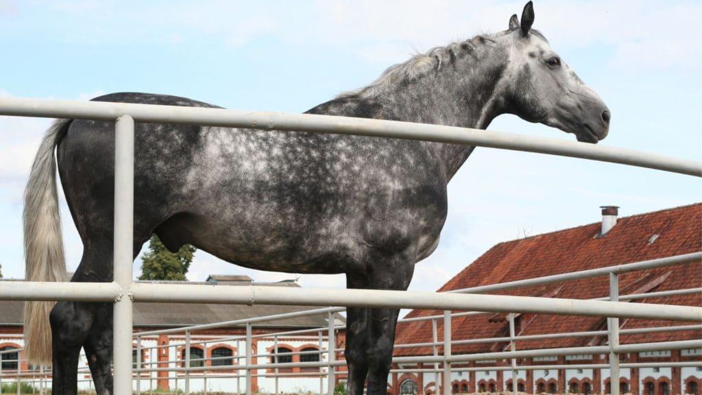 dapple,horse,color,