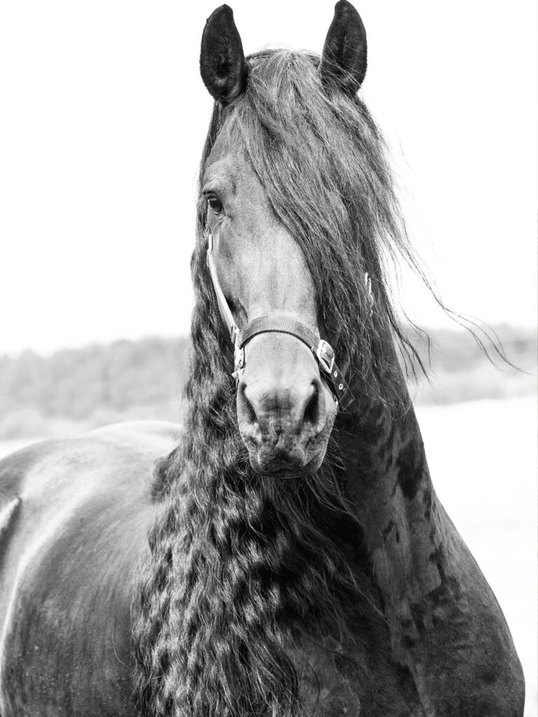 Picture of a Friesian horse with long mane.