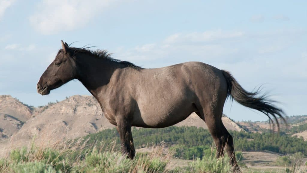 picture of a grulla horse,