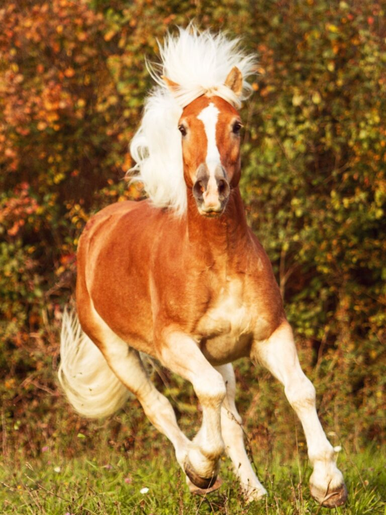 picture of a haflinger horse with long hair.