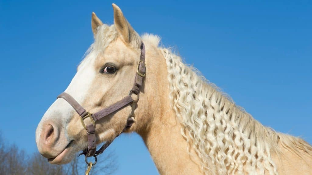 Picture of a palomino horse with a blaze face.