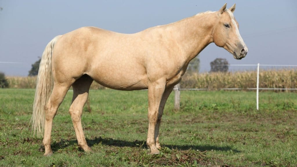 Picture of a sandy palomino horse,