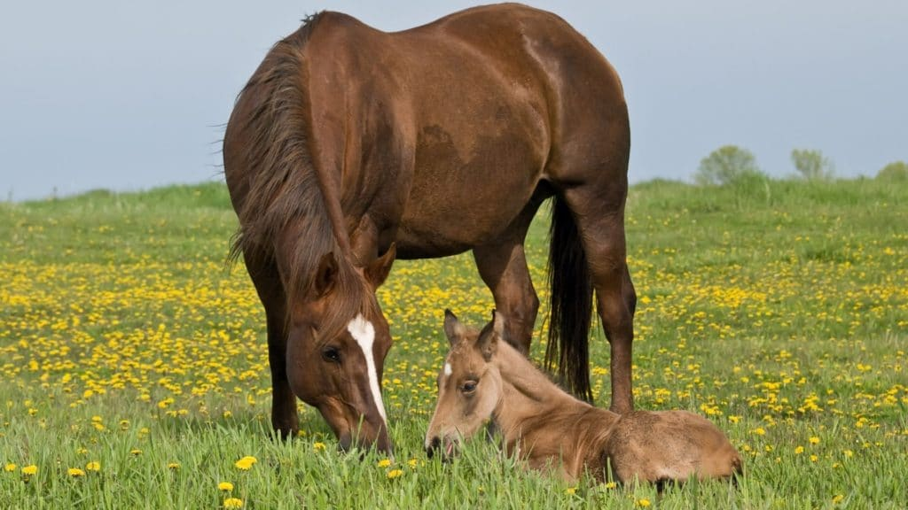 Picture of a quarter horse mare and her foal.