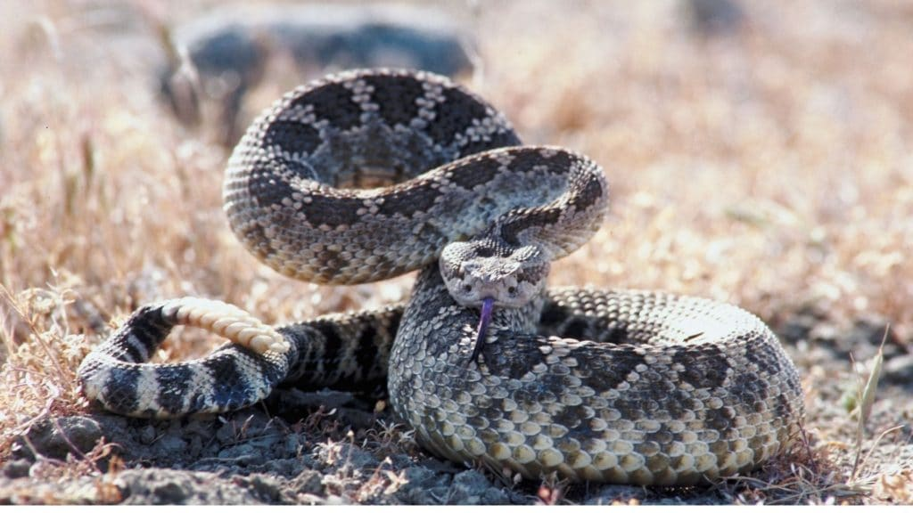 picture of a rattle snake ready to strike,