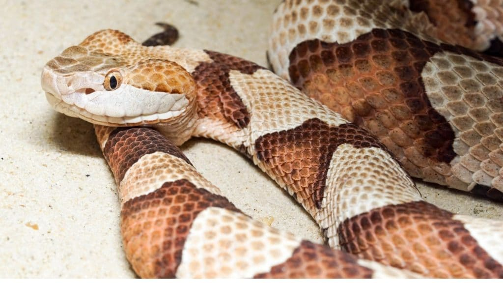 picture of a copper head snake,
