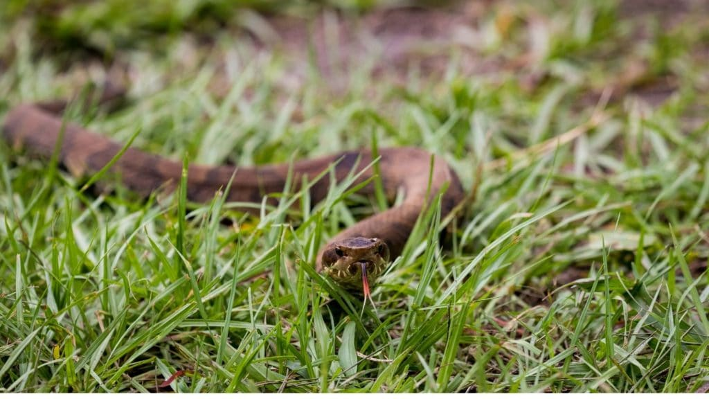 picture of a cottonmouth snake crawling through grass,