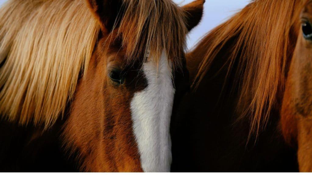 sorrel, sorrel horse,