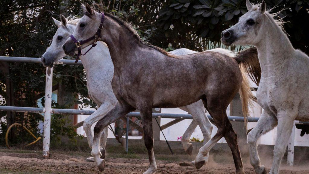 arabian horse,
