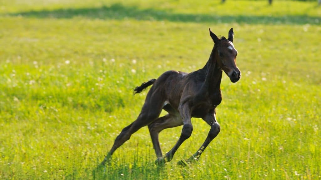 picture of a black foal running in a pasture,