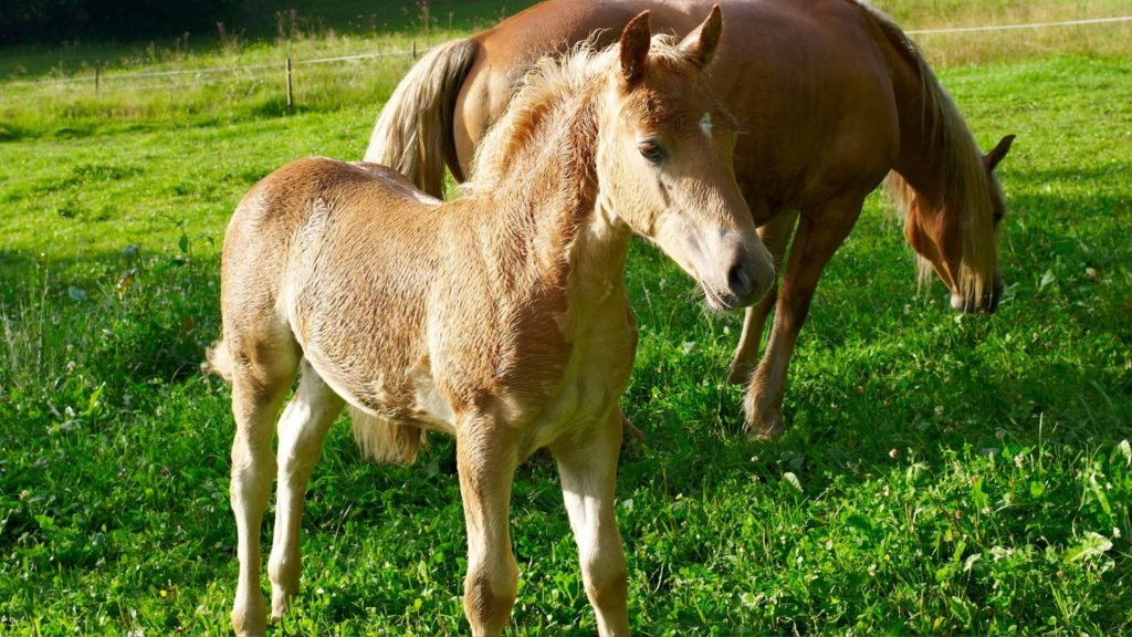 picture of a baby buckskin horse that looks like it may change color,