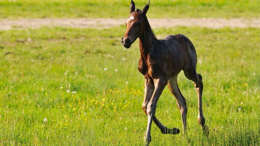 picture of a newborn chesnut foal in a pasture,