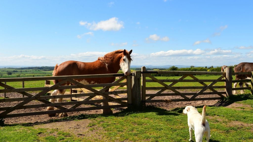 Picture of a Clydesdale staring at a dog.