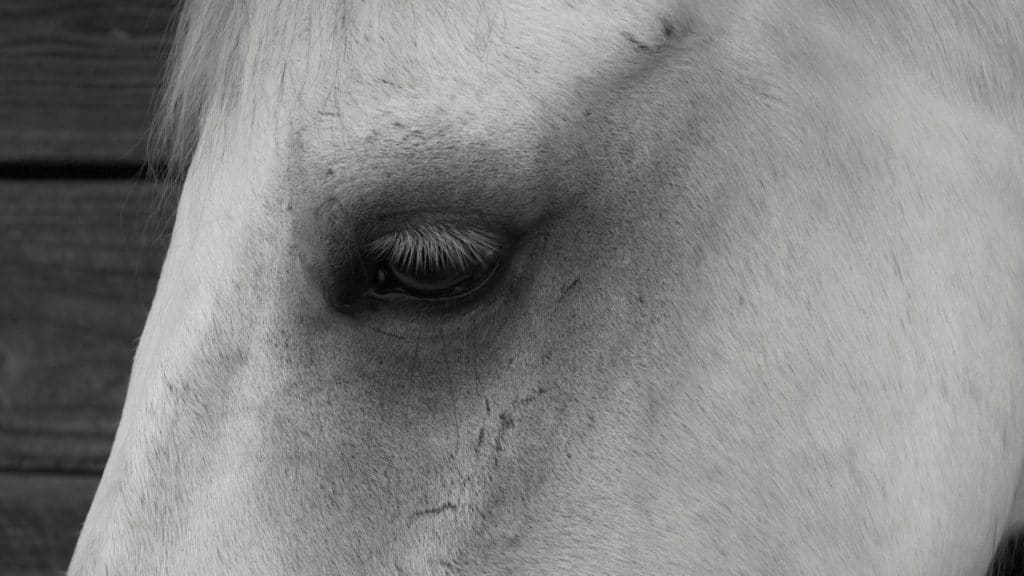 picture of a horses eyes that may be be showing the early signs it dehydrated,