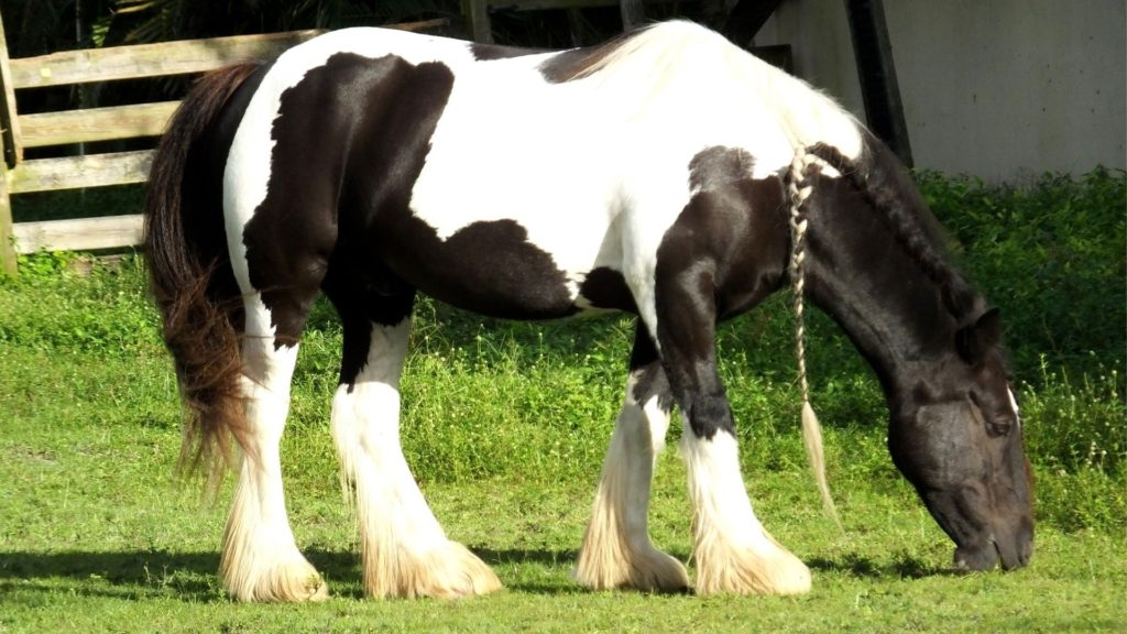 Picture of a black and white gypsy vanner with a braided mane.