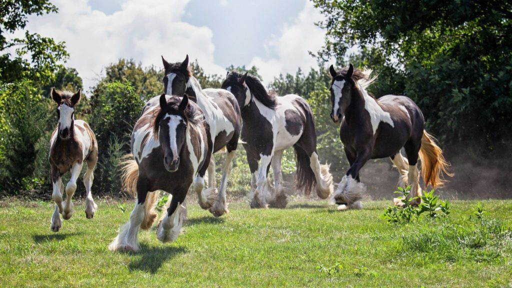 Picture of a herd of gypsy vanner horses.