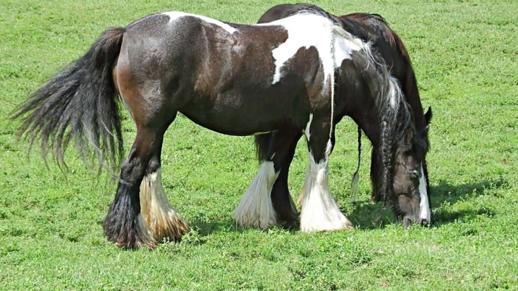 Picture of two gypsy vanner horses in a field.