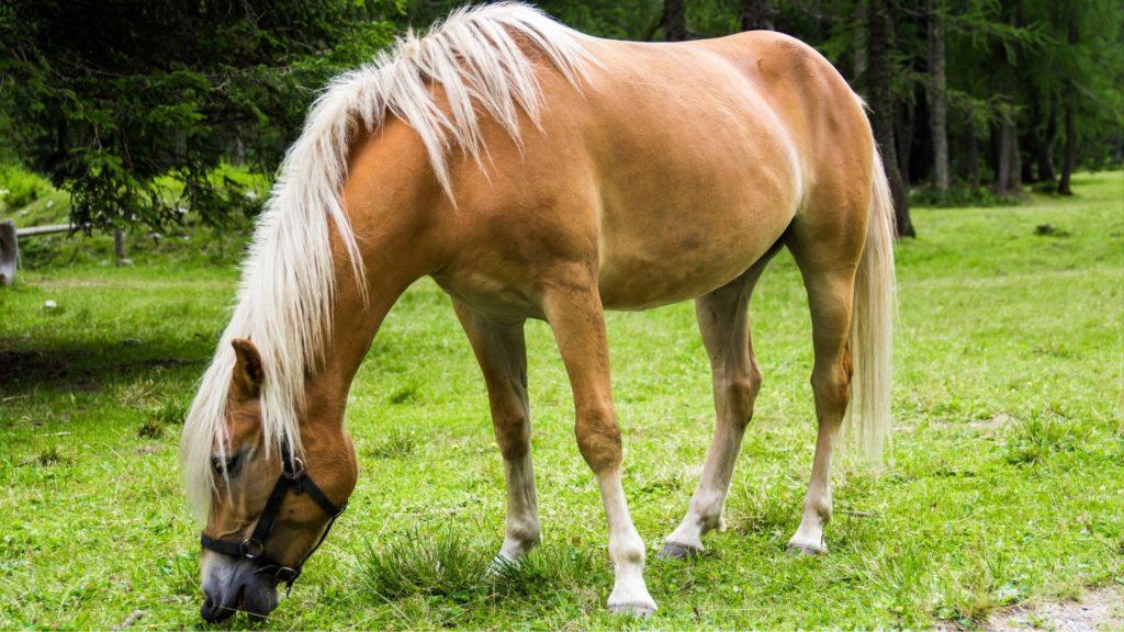 haflinger horses,