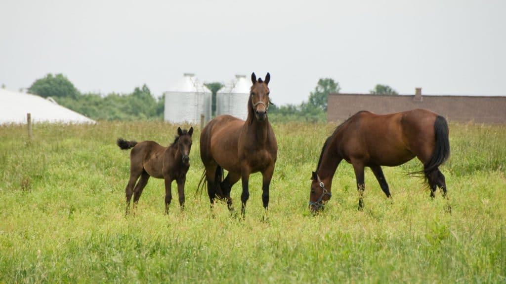morgan horse,