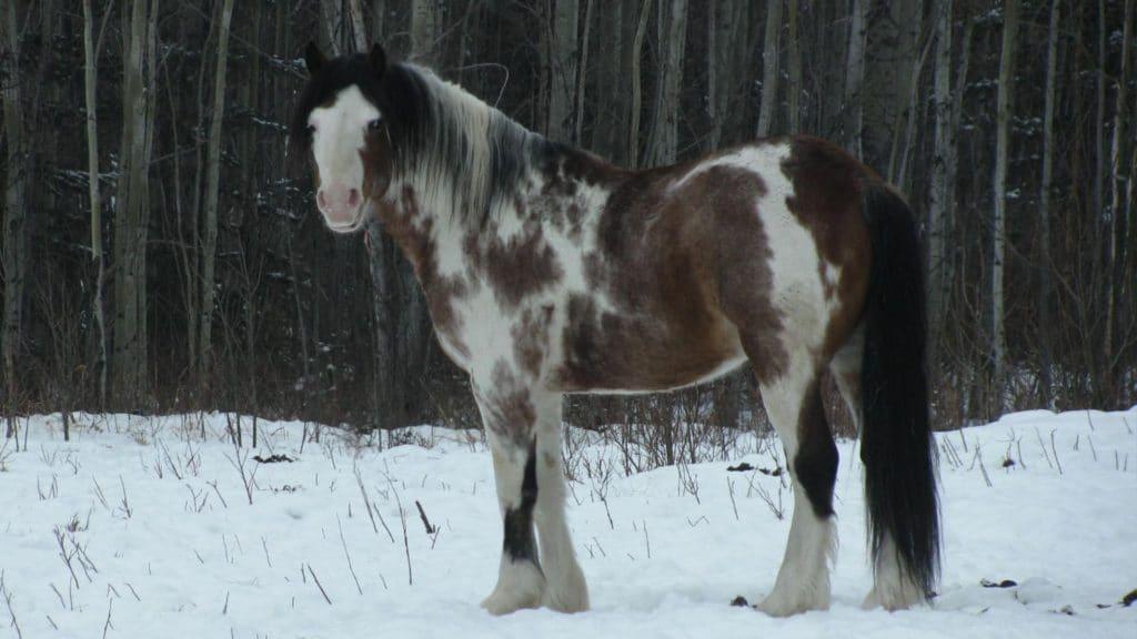 paint horse, colors,overo,