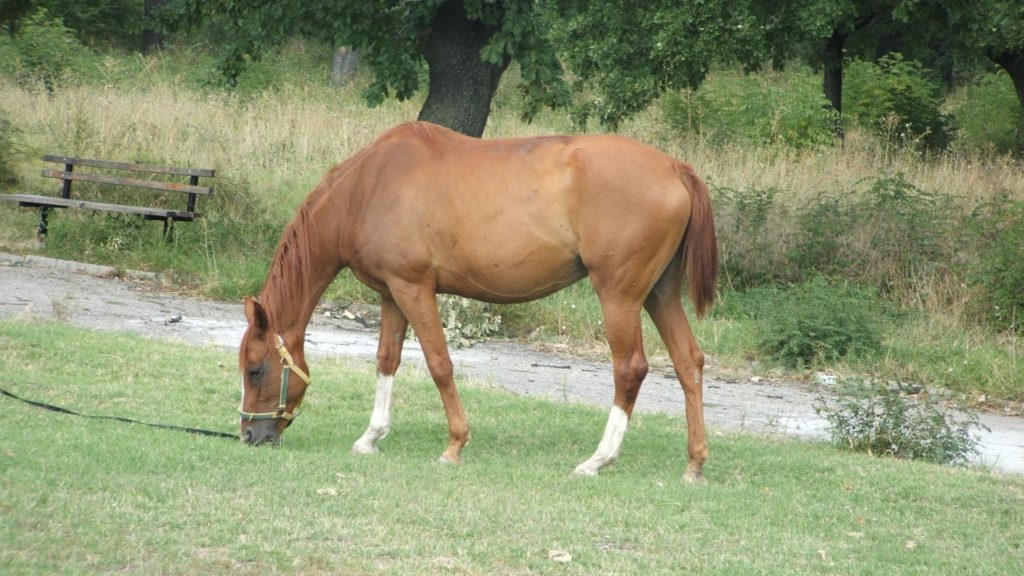 Picture of a horse with rain rot,