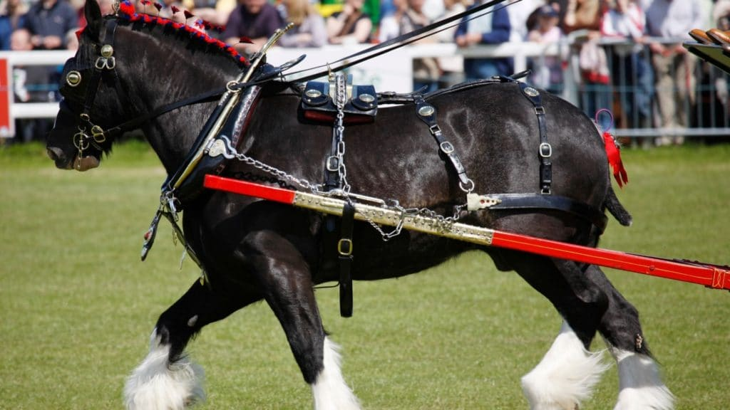 Picture of a Shire horse.