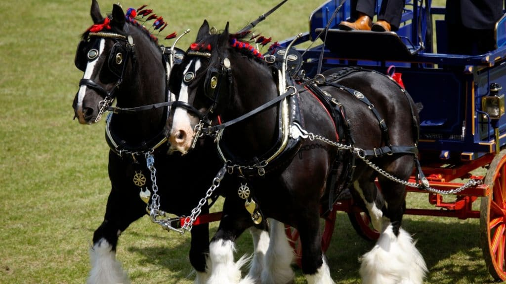 Picture of a pair of draft horses pulling a wagon while wearing blinders.
