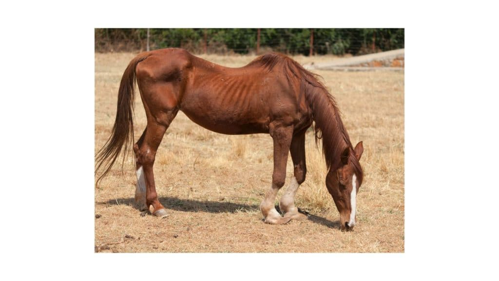 picture of an old horse with a curved back that looks undernurished,