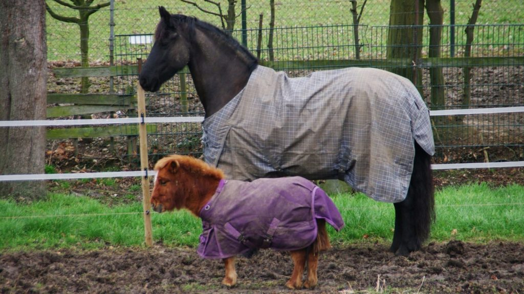 picture of a pony standing next to an average sized horse, both are wearing blankets.
