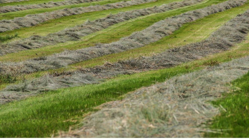 picture of cut grass in a hay field,