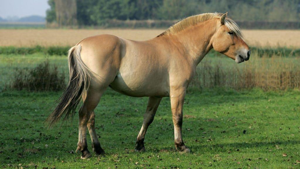 fjord horses, beginner riders, height, breed characteristics,