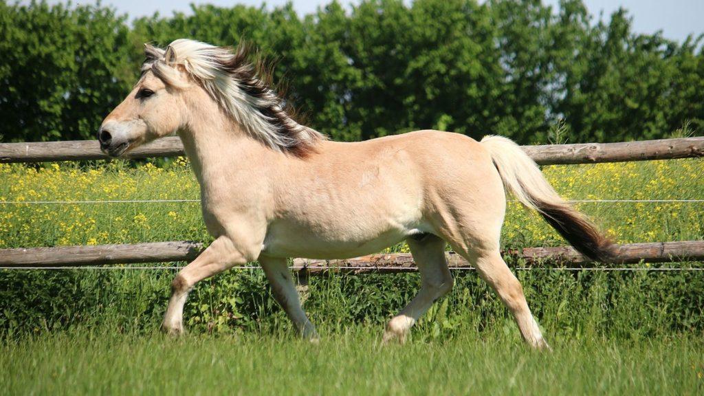 fjord horses, fjord horses gait,