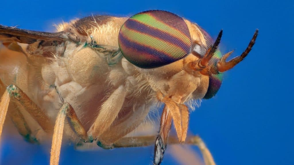 picture of a horsefly,