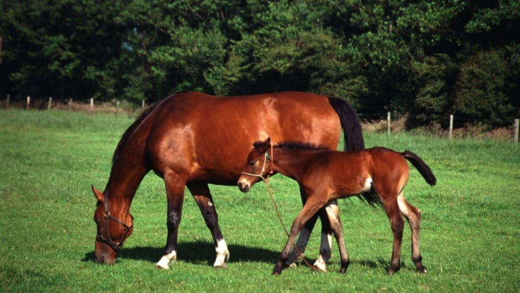 cloned horses, foal with her mother, broodmare and foal,