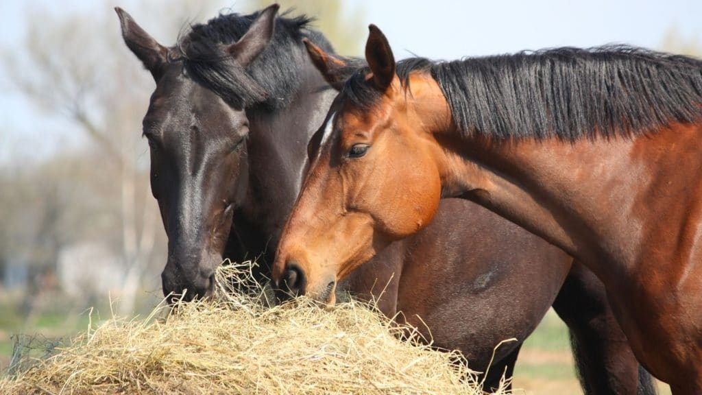 picture of horses eating hay, bale of hay,
