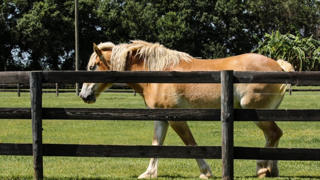 picture of a belgian horse behind a wood fence.