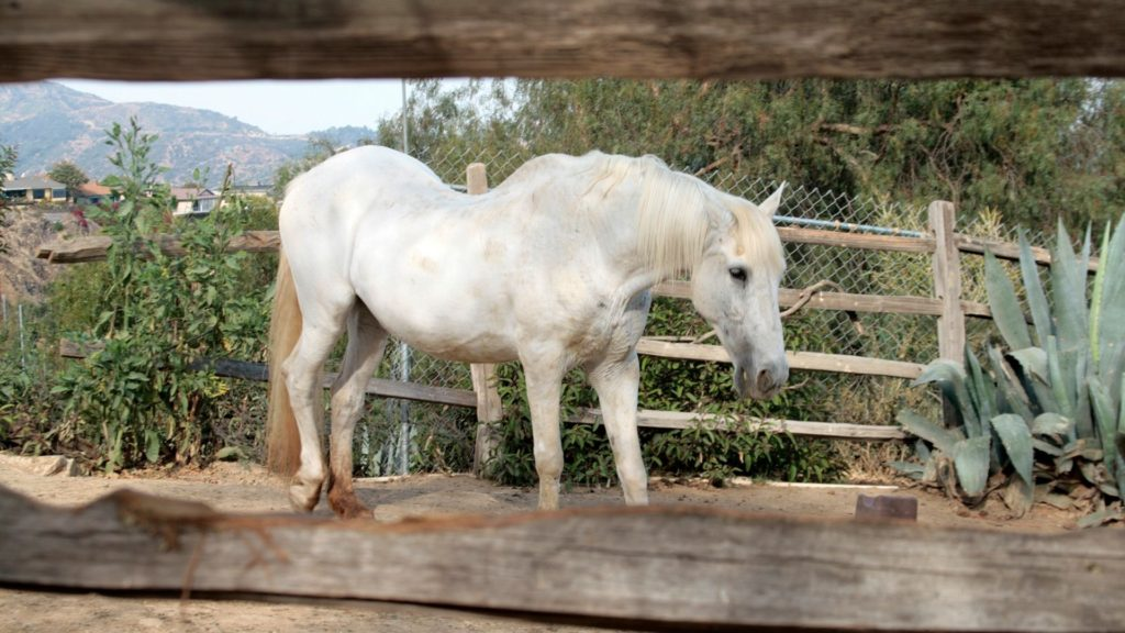 picture of a gray horse with a curved back.