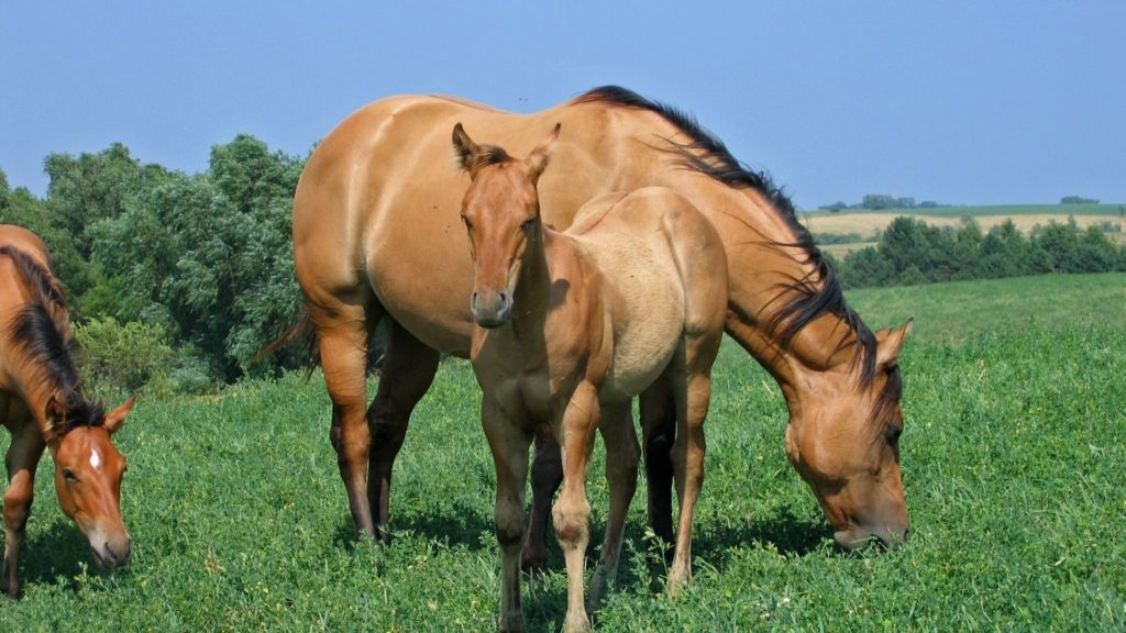 picture of a dun mare and dun foal,