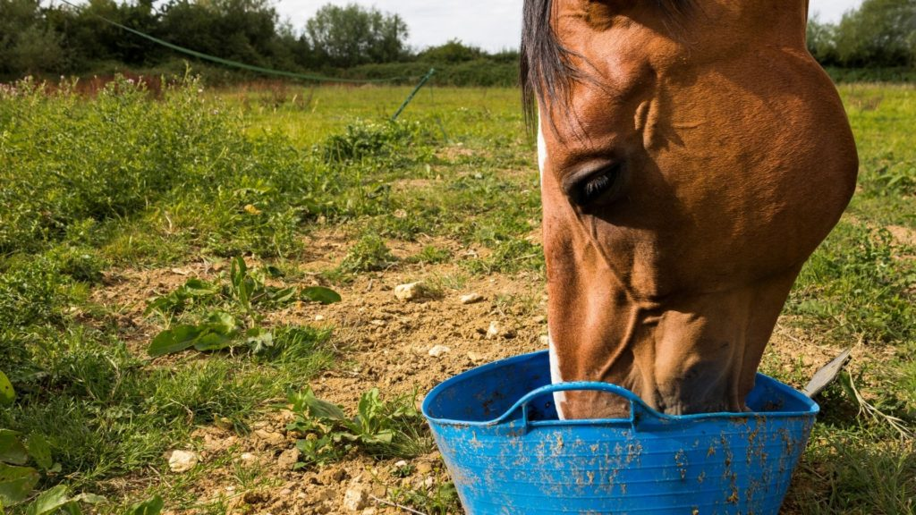 Picture of a horse eating beet pulp from a bucket,