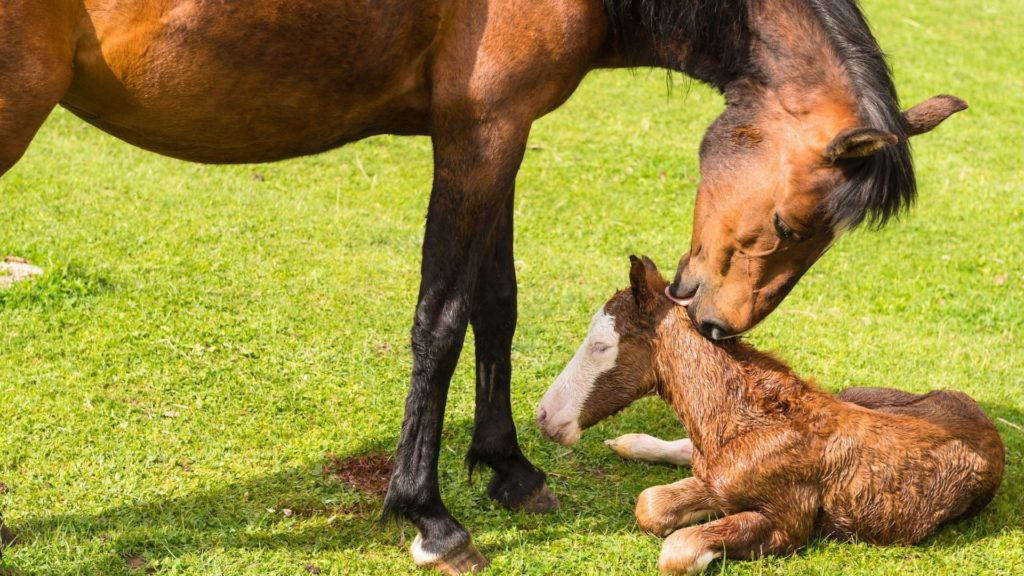 Picture of a mare licking her foal shortly after birth,