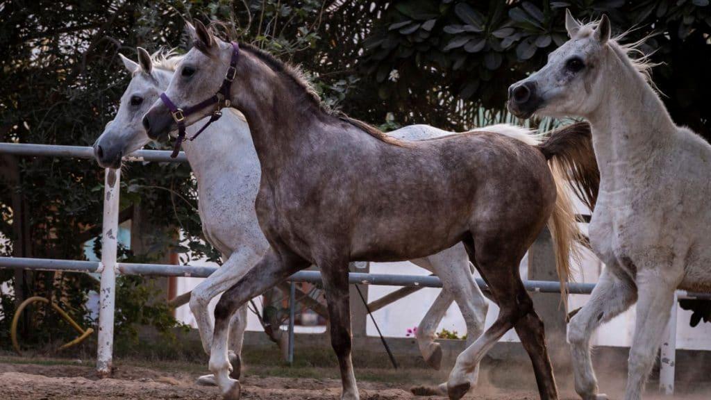 Picture of Arabian horses,
