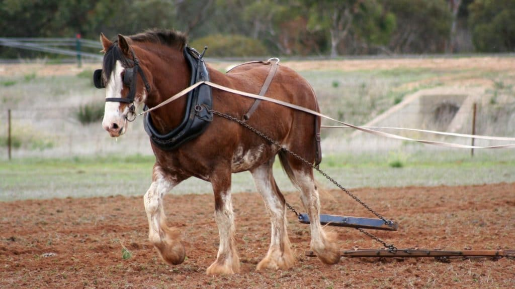 Picture of a draft horse,