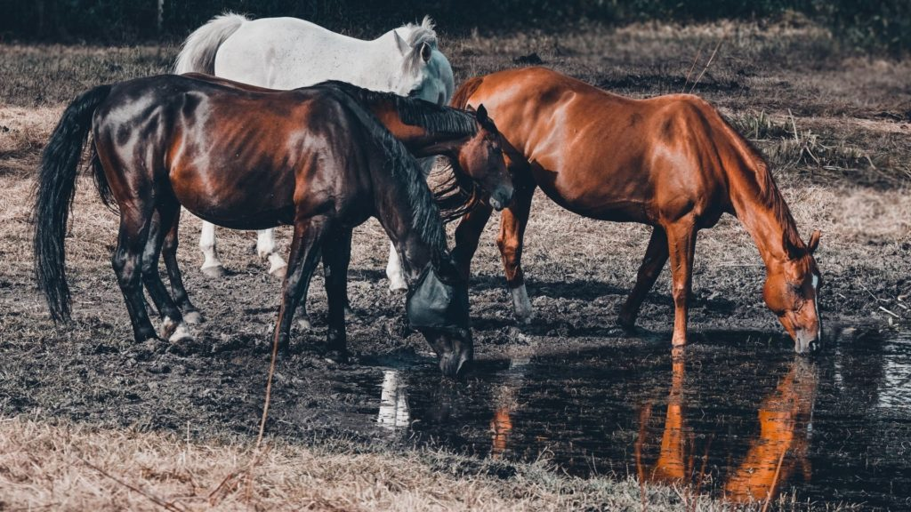 Picture of horses drinking water in the wild,