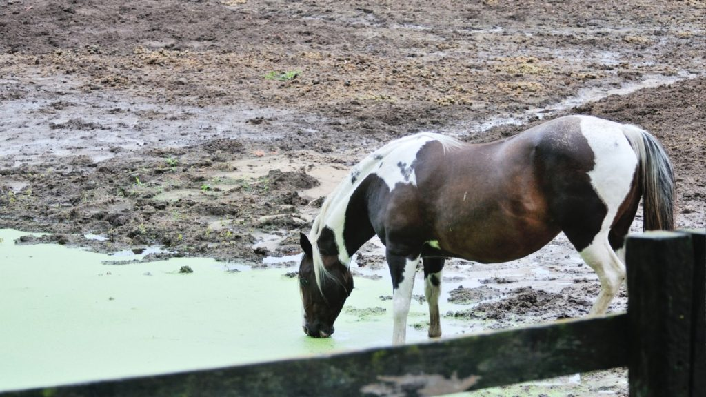 Picture of a horse drinking green water from a pond,