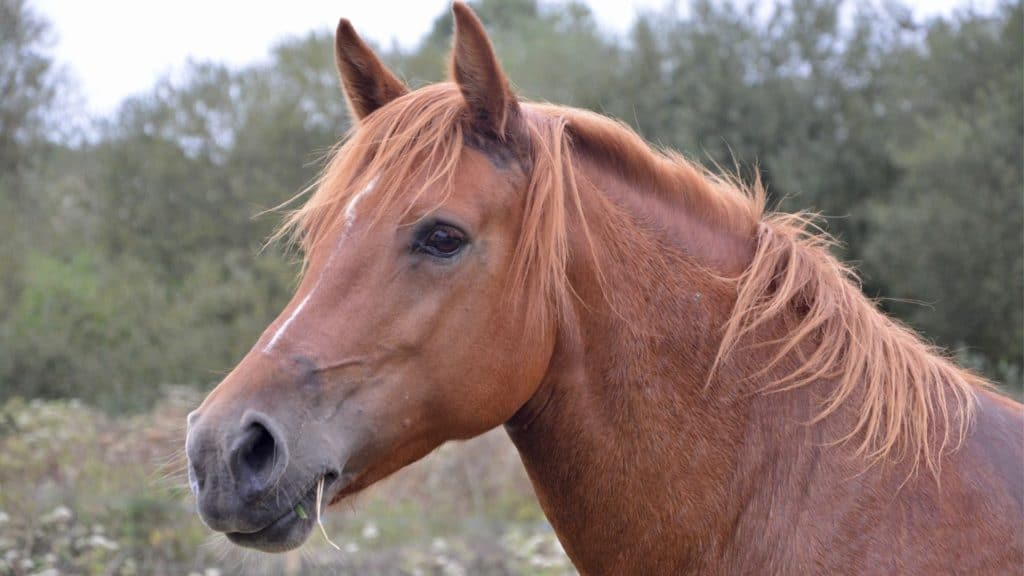Picture of a horses' head showing no horns,