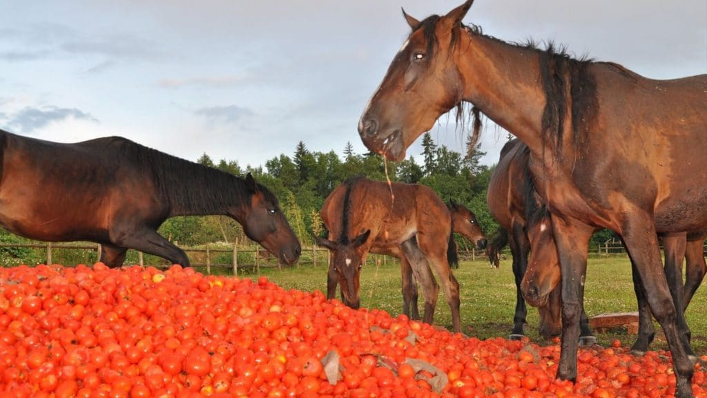 Picture of horses eating tomatoes,