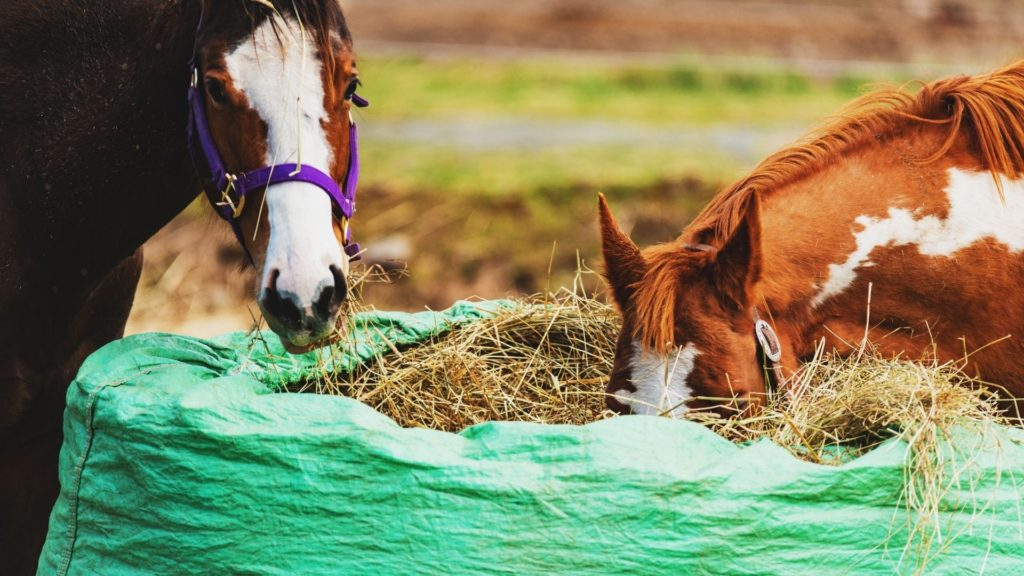 Picture of two horses eating from a round bale of hay.