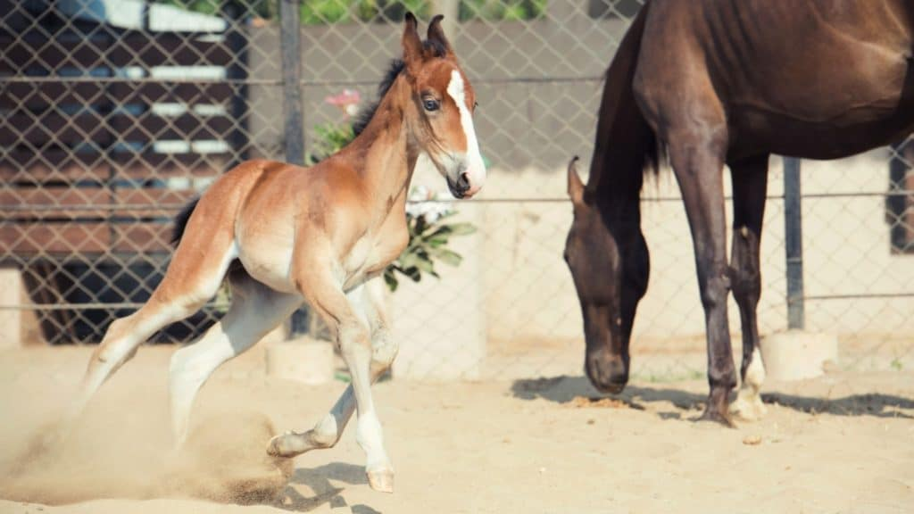 Picture of a Marwari foal and her mother,