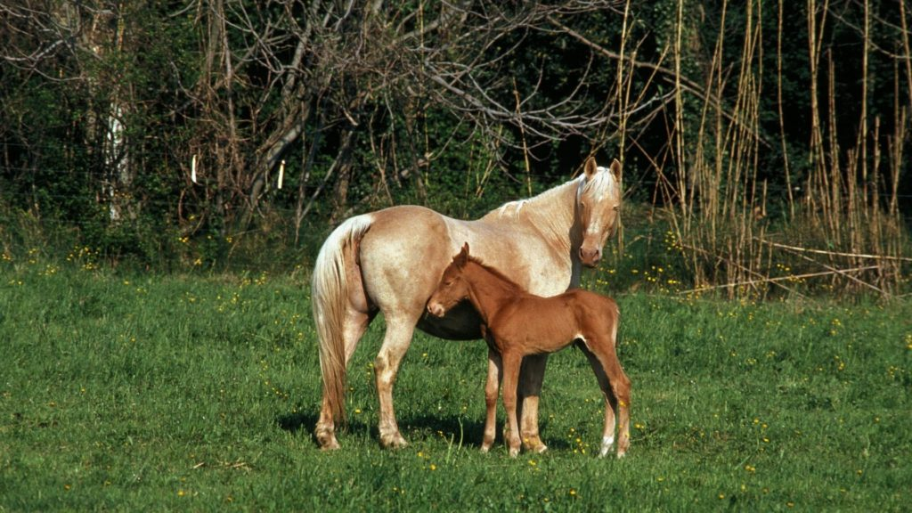 Picture of a well muscled palomino mare and her foal in a pasture.