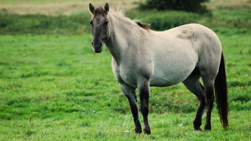 Picture of a pregnant grey mare,